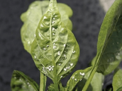 Как избавиться от мошек в рассаде в домашних условиях?
