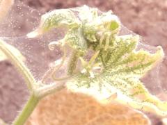 Как избавиться от паутинного клеща на огурцах?