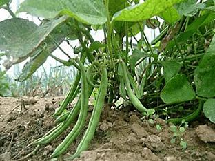 Как вырастить бобы на даче?