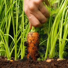 Как вырастить хорошую и крупную морковь?