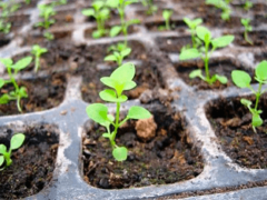 Как вырастить рассаду петунии в домашних условиях?