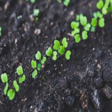 Как вырастить рукколу в домашних условиях?