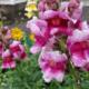 Цветок львиный зев: выращивание из семян, уход
