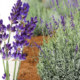 Выращивание лаванды: описание и советы по уходу
