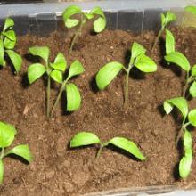 Выращивание рассады баклажанов в домашних условиях. Когда сажать?