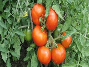 Знакомимся с особенностями томатов сибирский скороспелый