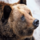 К чему снится медведь: толкование по соннику?