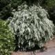 Как вырастить спирею вангутта в саду?