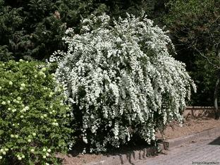 Как вырастить спирею вангутта в саду