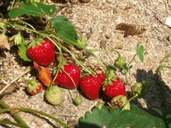 Как вырастить клубнику Элиане у себя в саду?