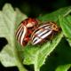 Какое самое эффективное средство от колорадского жука?