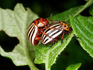 Какое самое эффективное средство от колорадского жука