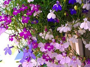 Лобелия: выращивание из семян, когда сажать рассаду, правила посадки и ухода