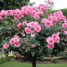 Особенности выращивания штамбовых роз: посадка и уход