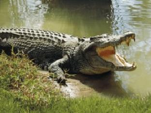 Видеть во сне крокодила - значения снов, все образы