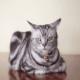 Американская кошка, или Американский курцхаар: описание породы