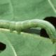 Борьба с нашествием бабочки капустницы