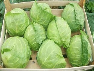 Хранение урожая капусты до весны