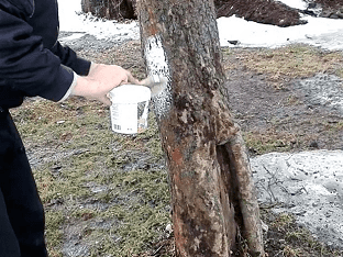 Когда белят деревья осенью