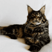 Кошки мейн кун особенности породы