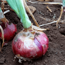Особенности выращивания Ялтинский лука