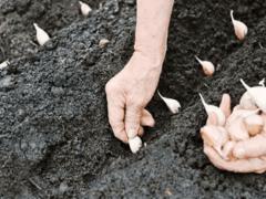 Посадка чеснока осенью под зиму, уход и сбор урожая