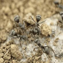 Борьба с садовыми муравьями народными средствами