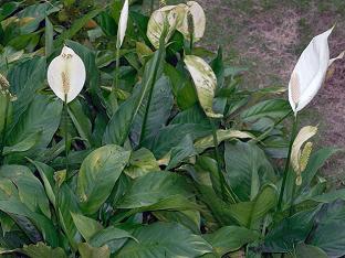 Как посадить Спатифиллум и ухаживать за ним