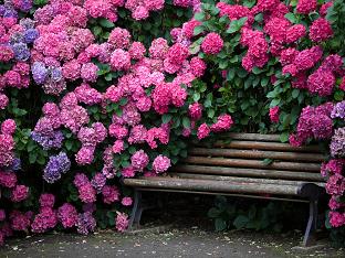 Как вырастить гортензию в саду: посадка уход?