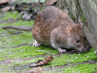 Приснились крысы и мыши: что значит сновидение?