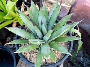 Как ухаживать за агава в домашних условиях?