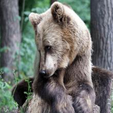 К чему снится медвежонок: толкования в сонниках