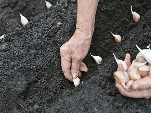 Посадка чеснока весной: когда, и как правильно сажать?