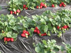Как выращивать клубнику — Лучшие способы современных садовников