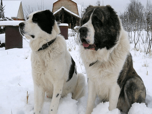 Как выглядит туркменский алабай: особенности характера собак и отзывы владельцев