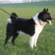 Карельская медвежья собака: стандарт, история, уход и содержание породы
