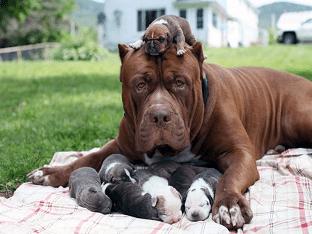 Питбуль Халк – обзор гигантской собаки