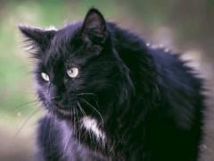 Сонник черный кот к чему снится черный кот во сне