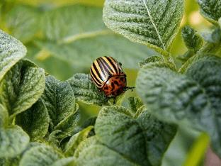 Средство борьбы с колорадским жуком