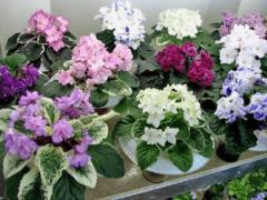 Домашние фиалки — особенности ухода и выращивания