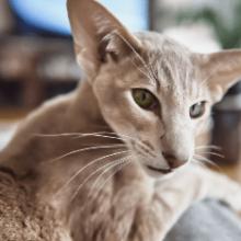 Ориентальная порода кошек: особенности и нюансы ухода