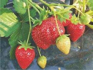 Подробное описание сорта садовой клубники Мармелада