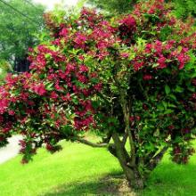 Кустарник вейгела гибридная Бристоль руби: посадка, уход, декоративные свойства