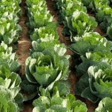 Какие культуры можно сажать после капусты
