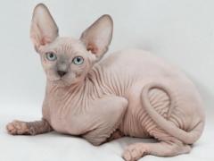 Кошки сфинкс — история удивительной породы