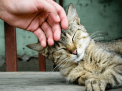 Почему мурлычет кошка?