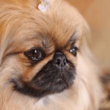 Пекинес собака: описание породы