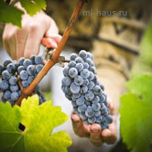 Необычный способ сбора винограда